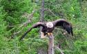 eagle-Copy