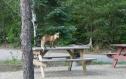 055a Camp fox
