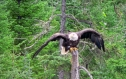 092b Bald eagle ready to fly